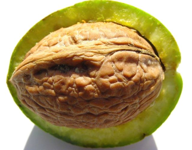 Noce-frutto-con-mallo